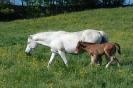 Das New Forest Pony_30