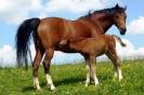 Das New Forest Pony_8